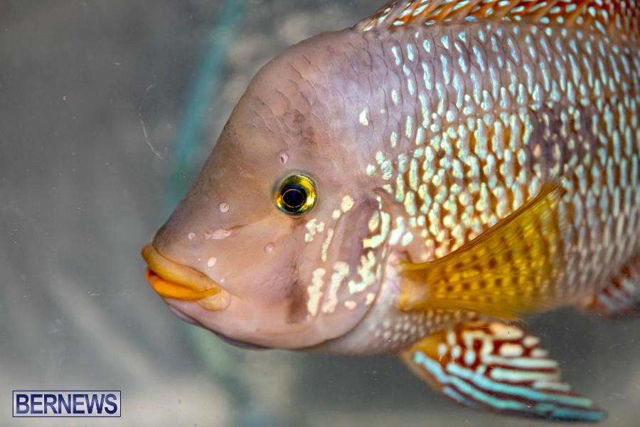 Bermuda-Fry-Angle-Aquarium-Society-Annual-Tropical-Fish-Show-November-16-2019-2482