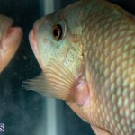 Bermuda Fry-Angle Aquarium Society Annual Tropical Fish Show, November 16 2019-2484