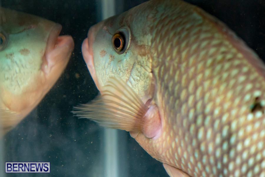 Bermuda-Fry-Angle-Aquarium-Society-Annual-Tropical-Fish-Show-November-16-2019-2484