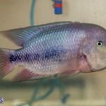 Bermuda Fry-Angle Aquarium Society Annual Tropical Fish Show, November 16 2019-2489