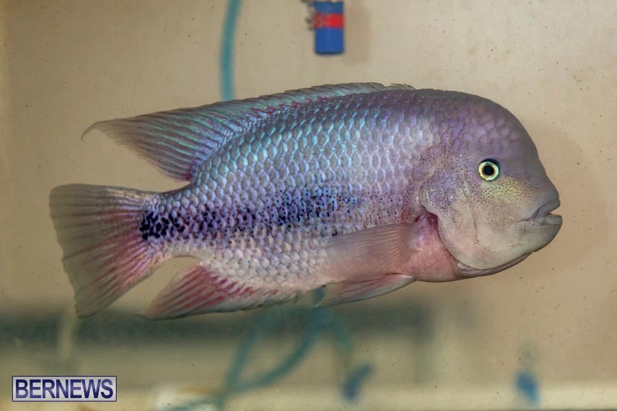 Bermuda-Fry-Angle-Aquarium-Society-Annual-Tropical-Fish-Show-November-16-2019-2489