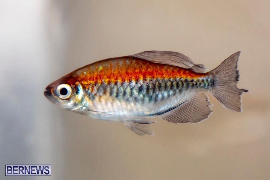 Bermuda-Fry-Angle-Aquarium-Society-Annual-Tropical-Fish-Show-November-16-2019-2503