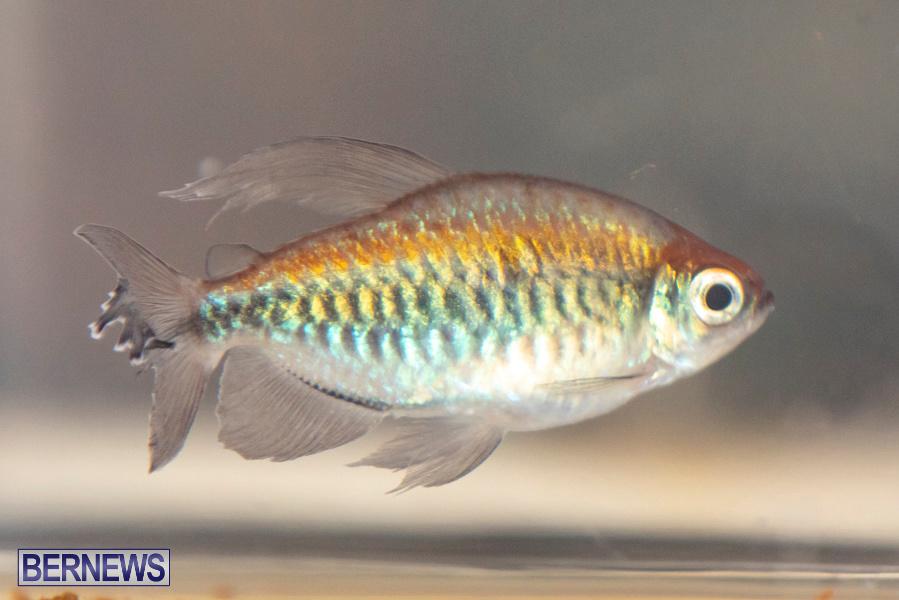 Bermuda-Fry-Angle-Aquarium-Society-Annual-Tropical-Fish-Show-November-16-2019-2508
