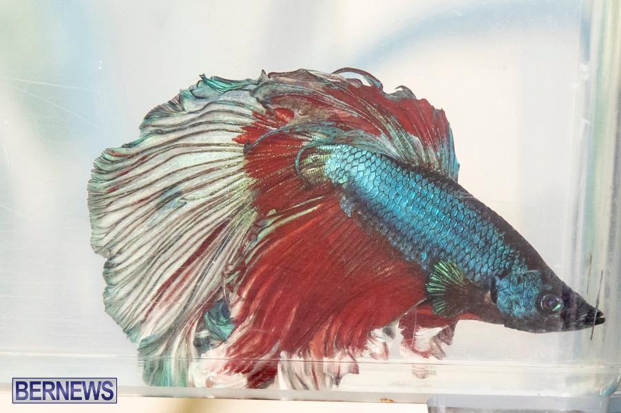 Bermuda-Fry-Angle-Aquarium-Society-Annual-Tropical-Fish-Show-November-16-2019-2513