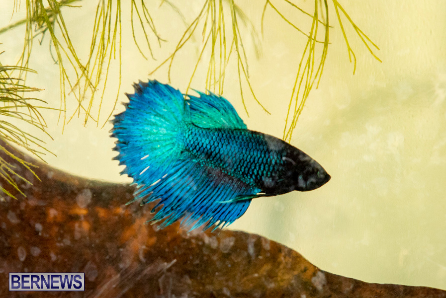 Bermuda-Fry-Angle-Aquarium-Society-Annual-Tropical-Fish-Show-November-16-2019-2522