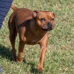 Devil's Isle All Breed Club 2019 Bermuda International Dog Shows Bermuda, November 2 2019-0519