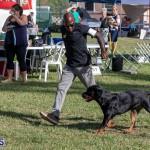 Devil's Isle All Breed Club 2019 Bermuda International Dog Shows Bermuda, November 2 2019-0527