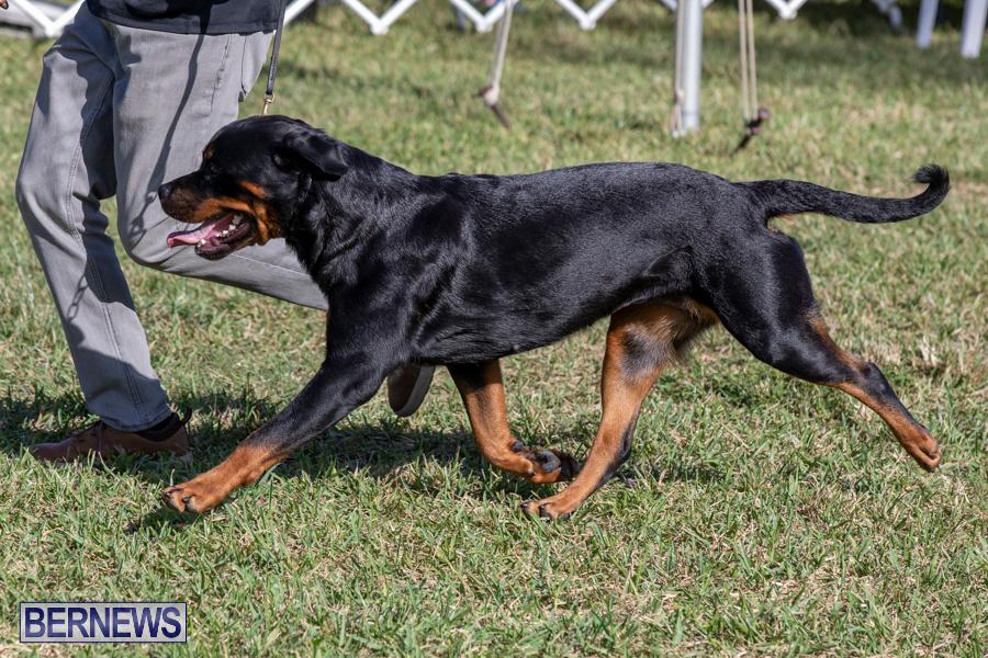 Devils-Isle-All-Breed-Club-2019-Bermuda-International-Dog-Shows-Bermuda-November-2-2019-0528