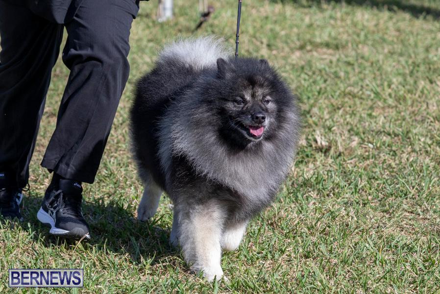 Devils-Isle-All-Breed-Club-2019-Bermuda-International-Dog-Shows-Bermuda-November-2-2019-0544