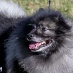Devil's Isle All Breed Club 2019 Bermuda International Dog Shows Bermuda, November 2 2019-0545