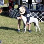 Devil's Isle All Breed Club 2019 Bermuda International Dog Shows Bermuda, November 2 2019-0567