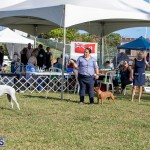 Devil's Isle All Breed Club 2019 Bermuda International Dog Shows Bermuda, November 2 2019-0571