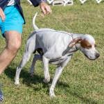 Devil's Isle All Breed Club 2019 Bermuda International Dog Shows Bermuda, November 2 2019-0576