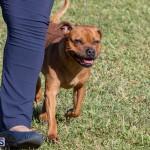 Devil's Isle All Breed Club 2019 Bermuda International Dog Shows Bermuda, November 2 2019-0578