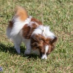 Devil's Isle All Breed Club 2019 Bermuda International Dog Shows Bermuda, November 2 2019-0582
