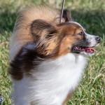 Devil's Isle All Breed Club 2019 Bermuda International Dog Shows Bermuda, November 2 2019-0605