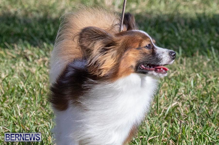 Devils-Isle-All-Breed-Club-2019-Bermuda-International-Dog-Shows-Bermuda-November-2-2019-0605