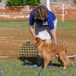 Devil's Isle All Breed Club 2019 Bermuda International Dog Shows Bermuda, November 2 2019-0610