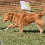 Devil's Isle All Breed Club 2019 Bermuda International Dog Shows Bermuda, November 2 2019-0613