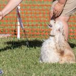 Devil's Isle All Breed Club 2019 Bermuda International Dog Shows Bermuda, November 2 2019-0624