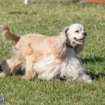 Devil's Isle All Breed Club 2019 Bermuda International Dog Shows Bermuda, November 2 2019-0643