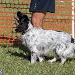 Devil's Isle All Breed Club 2019 Bermuda International Dog Shows Bermuda, November 2 2019-0664