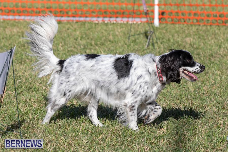 Devils-Isle-All-Breed-Club-2019-Bermuda-International-Dog-Shows-Bermuda-November-2-2019-0682