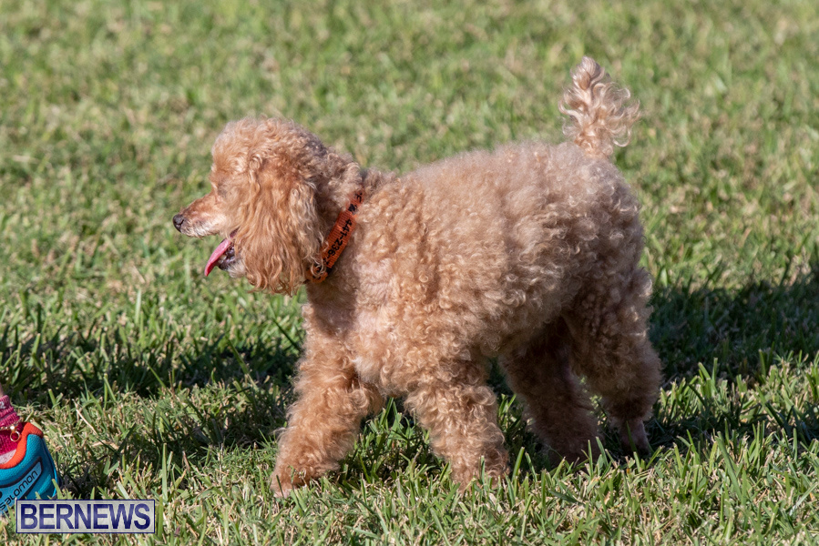 Devils-Isle-All-Breed-Club-2019-Bermuda-International-Dog-Shows-Bermuda-November-2-2019-0694