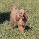 Devil's Isle All Breed Club 2019 Bermuda International Dog Shows Bermuda, November 2 2019-0704