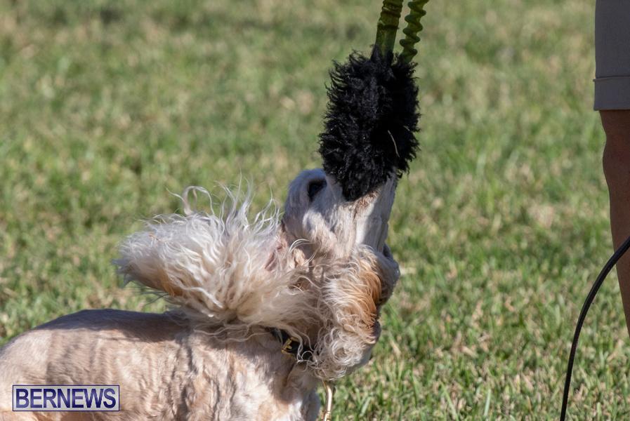 Devils-Isle-All-Breed-Club-2019-Bermuda-International-Dog-Shows-Bermuda-November-2-2019-0713