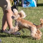 Devil's Isle All Breed Club 2019 Bermuda International Dog Shows Bermuda, November 2 2019-0718