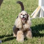 Devil's Isle All Breed Club 2019 Bermuda International Dog Shows Bermuda, November 2 2019-0750
