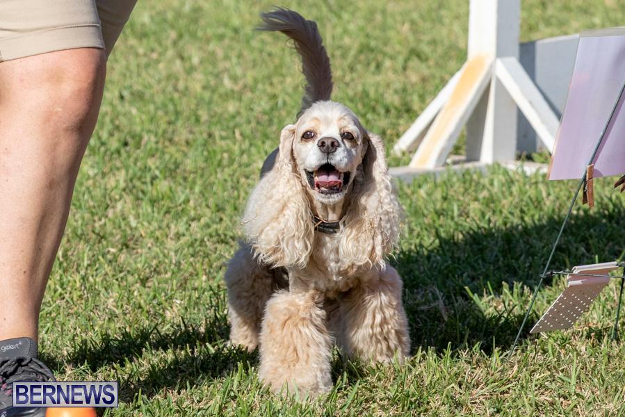 Devils-Isle-All-Breed-Club-2019-Bermuda-International-Dog-Shows-Bermuda-November-2-2019-0750