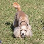 Devil's Isle All Breed Club 2019 Bermuda International Dog Shows Bermuda, November 2 2019-0754