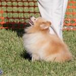 Devil's Isle All Breed Club 2019 Bermuda International Dog Shows Bermuda, November 2 2019-0776