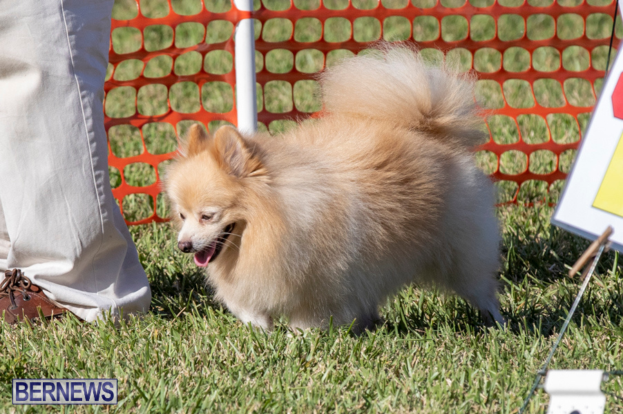 Devils-Isle-All-Breed-Club-2019-Bermuda-International-Dog-Shows-Bermuda-November-2-2019-0794