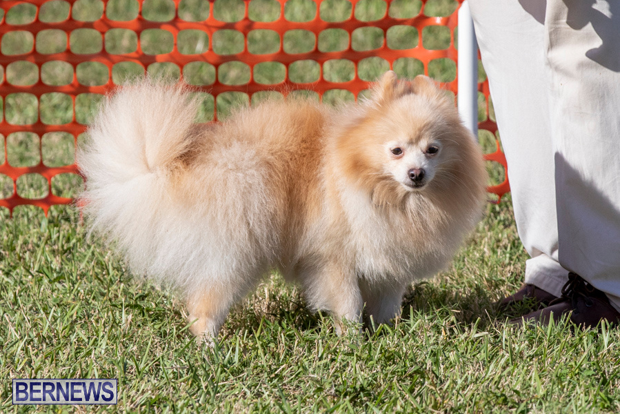 Devils-Isle-All-Breed-Club-2019-Bermuda-International-Dog-Shows-Bermuda-November-2-2019-0798