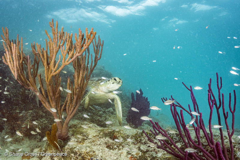 Green Sea Turtle in the Sargasso Sea