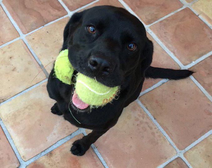 Juno Black Labrador Dog Bermuda Jan 2020