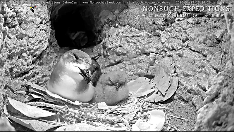 Cahow Chick Hatches Bermuda March 2020 (2)