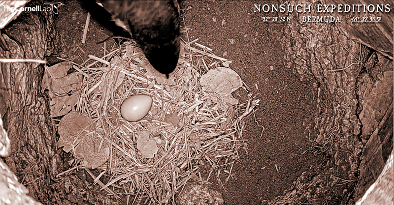 Cam2_March2_HatchAlert Bermuda March 2020