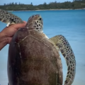 Video: Rescued Turtle Released Back Into Wild