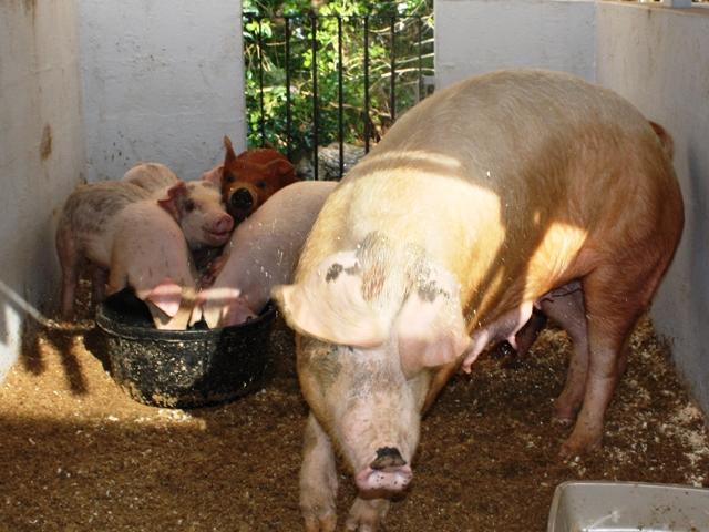 pigs-ag-show-2010-3