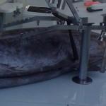 blue marlin bermuda 2