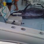 blue marlin bermuda