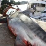 tiger shark july 2010 (13)