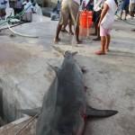 tiger shark july 2010 (20)