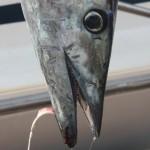 wahoo fish tourn 2010 (2)