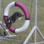 bermuda dog show oct 23 (10)