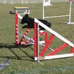 bermuda dog show oct 23 (19)